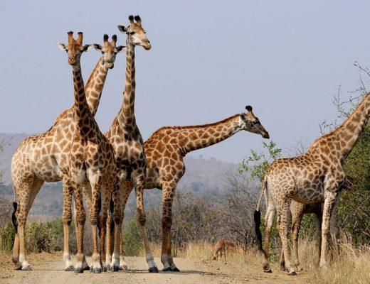 Safari sur le territoire sud-africain : entre aventures, découvertes et dépaysement